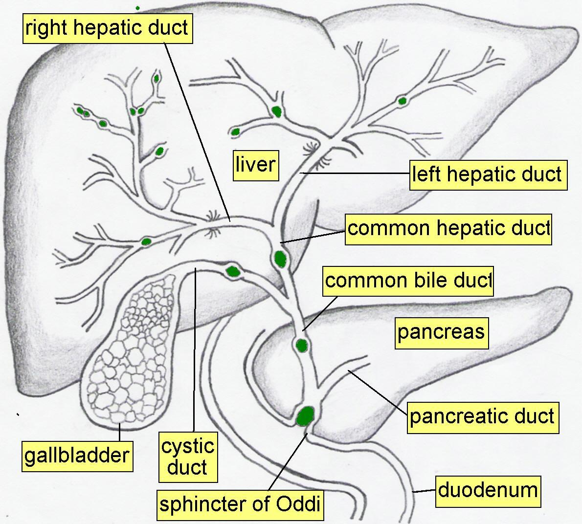 common bile duct and pancreatic duct. common bile duct,